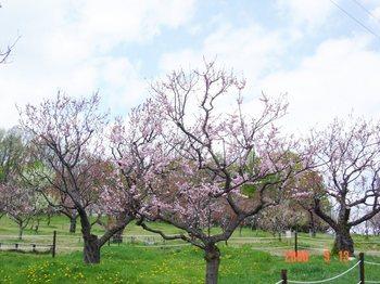 平岡公園(春) 001.jpg