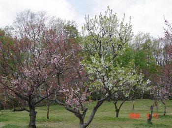 平岡公園(春) 002.jpg