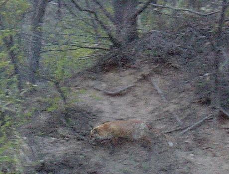 狐か狸1.JPG